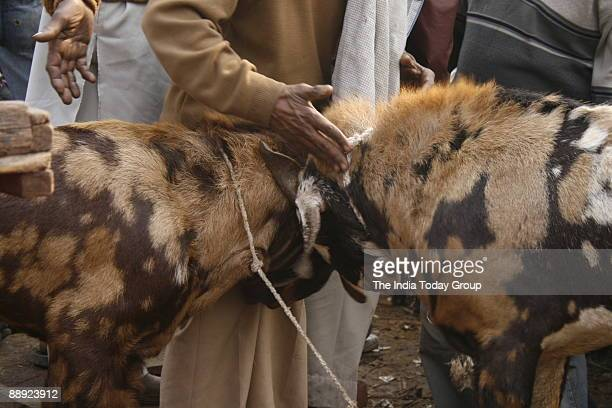 20 Bakra Mandi Pictures, Photos & Images - Getty Images