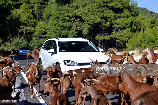 caprinos bloqueando a estrada na ilha de skopelos - golf imagens e fotografias de stock