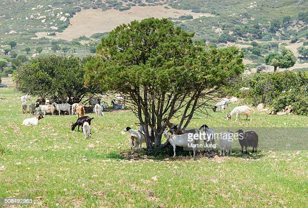 Goats -Capra- standing in the shade of cypress trees, Villasimius, Sardinia, Italy