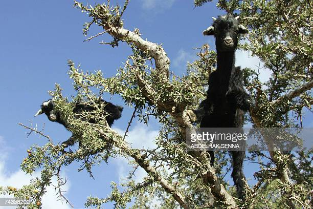 Goats climb an Argan tree 25 May 2006 in search of the tree's bitter fruits near Taroudant The Argan is endemic to the semidesert region of...