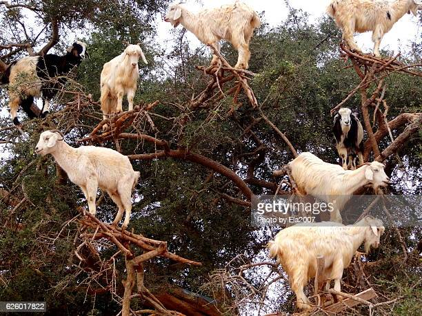 Goats climbing an Argan tree