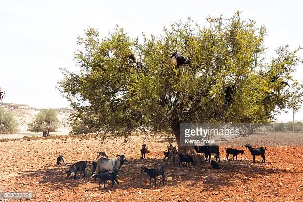 Goats climbing argan trees