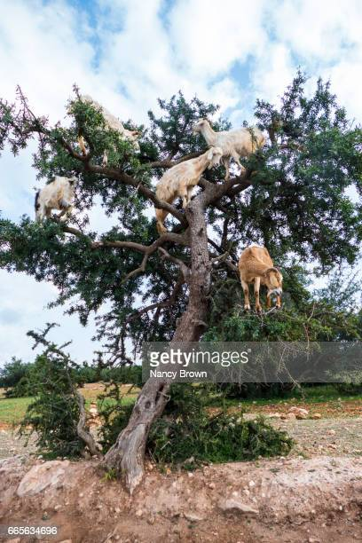Goats Climbing up and Eating the Seeds of the Argan Trees in Morocco.