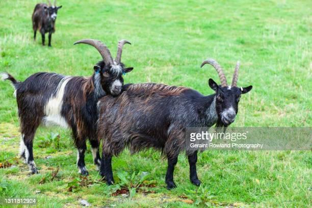 goats, devon, england - lynton stock pictures, royalty-free photos & images