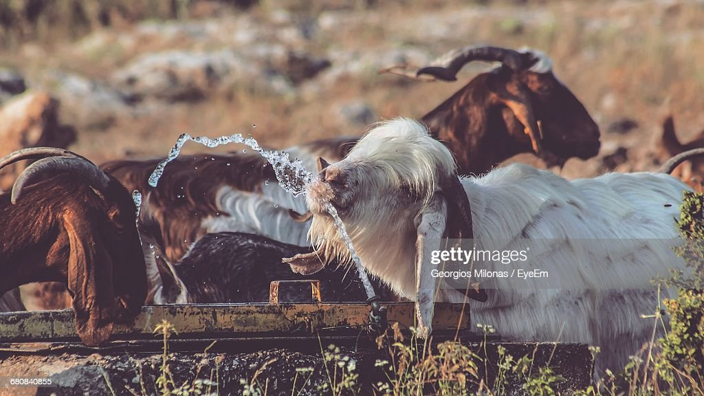 goats drinking water from trough at farm stock photo getty images