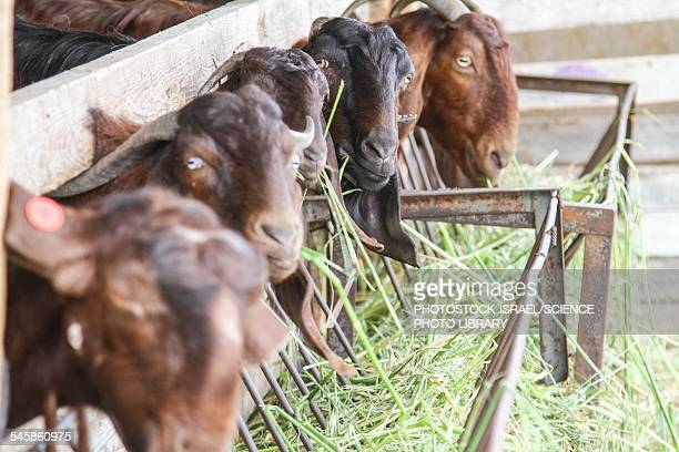 goats eat hay - photostock stock photos and pictures