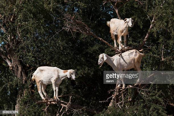 Goats feeding in argan tree. Marocco