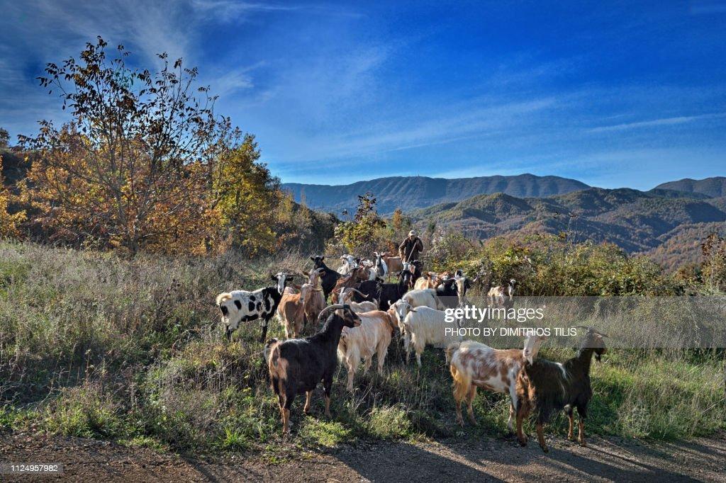 Goats flock : Stock Photo