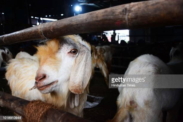 Goats for sale at Kondhwa Livestock market ahead of Muslim festival Eid AlAdha on August 17 2018 in Pune India