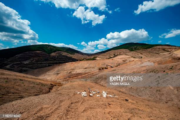 Goats graze at the gold mine site project of Canadabased Alamos Gold in a deforestated area in Turkey's northwestern province of Canakkale near the...