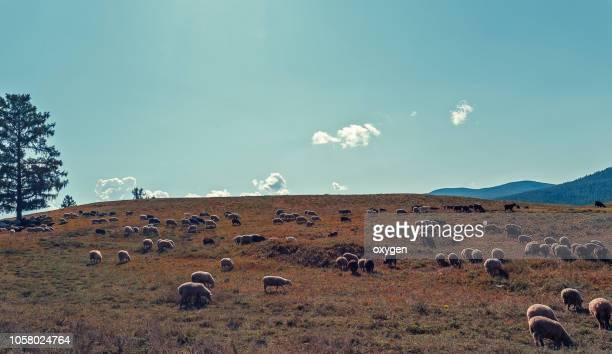 goats graze in altai mountains, russia - grazing stock pictures, royalty-free photos & images