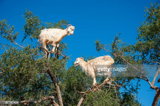 goats graze in an argan tree - morocco - funny animals stock pictures, royalty-free photos & images