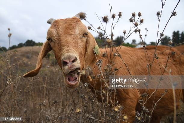 Goats graze on a hillside as part of fire prevention efforts, September 26, 2019 in South Pasadena, California. - In about twenty days the goats are...