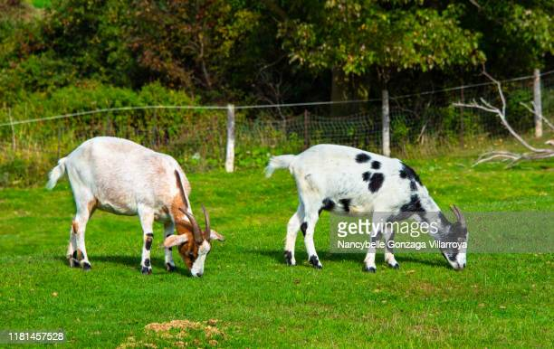 goats grazing on a farm - goat stock pictures, royalty-free photos & images