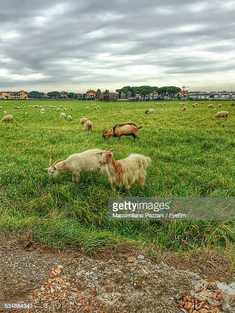 Goats Grazing On Grassy Field Against Cloudy Sky
