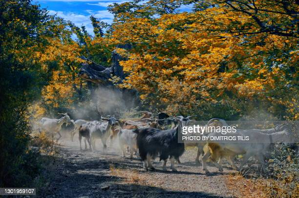 a goats herd crosses the forest - dimitrios tilis stock pictures, royalty-free photos & images