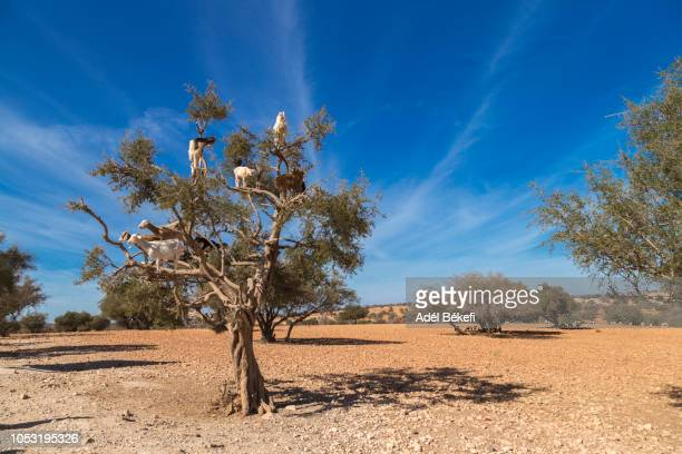 goats in a tree, essaouira, morocco - argan tree stock pictures, royalty-free photos & images