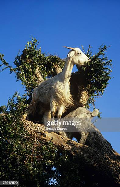 Goats in a tree in essaouira