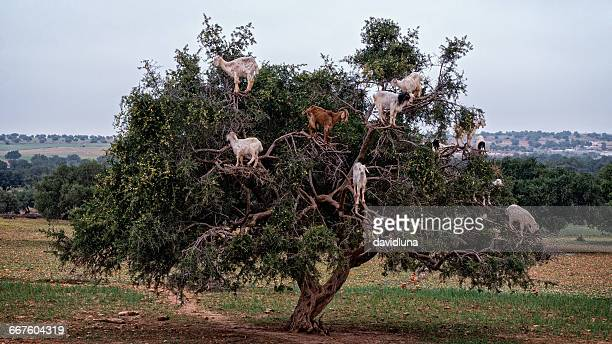 Goats in argan tree, Essaouira, Morocco