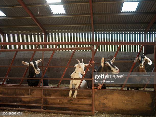 Goats in barn, leaning through gate