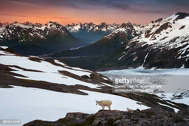 Goats in Kenai Fjords National Park