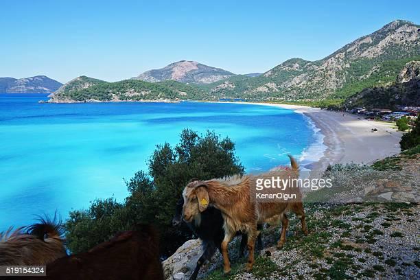 Goats in Oludeniz.