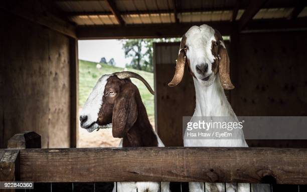 Goats In Shed