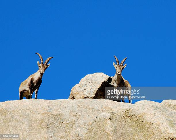 Goats in the Pedriza