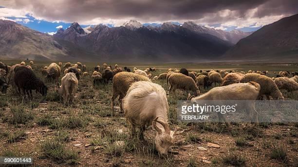 Goats in Zanskar