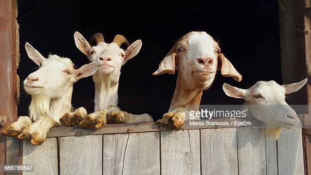 goats leaning on wooden wall at farm - marija mauer stock-fotos und bilder