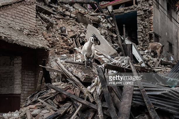 Goats look for food in the wreckage of a house in Khokana a village dating back hundreds of years on the outskirts of Kathmandu on April 29 following...