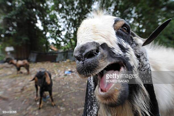 60 Top Goats For Sale On Occasion Of Eid Al Adha Pictures, Photos