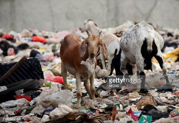 Goats munch on the plastic wastes at a dumpsite in Bekasi West Java on August 11 2019 Around 300 million tonnes of plastic are produced every year...