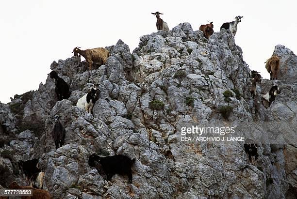 Goats on a rocky peak Ambelos Crete Greece