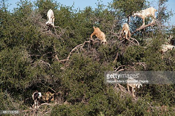 Goats on an Argan tree eating fruits near Essaouira
