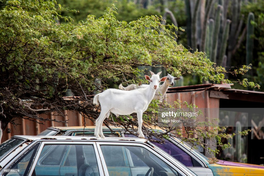 Goats on cars on Bonaire : Stock Photo
