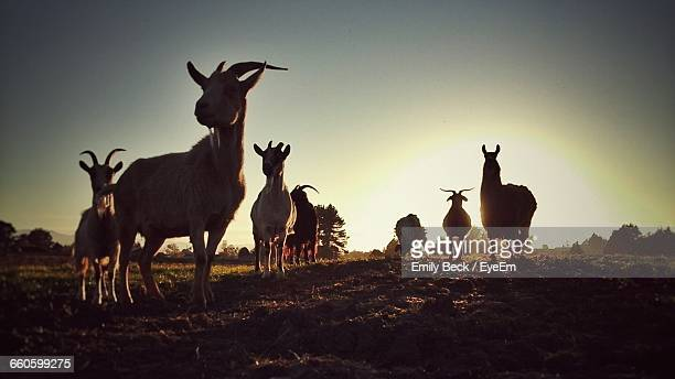 Goats On Field Against Clear Sky