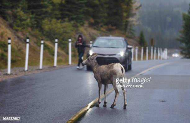 goats on mountain road, Banff National Park, Alberta, Canada