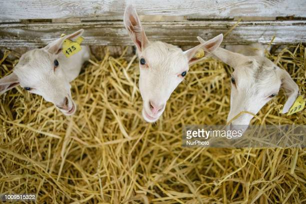 Goats on the Dooobra ferma farm Dooobra ferma is a dairy farm in Kiev region specialized on handcrafted cheeses Bohuslav Kiev region Ukraine on July...