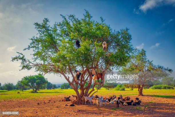 goats on tree eating argan (hdri) - argan tree stock pictures, royalty-free photos & images