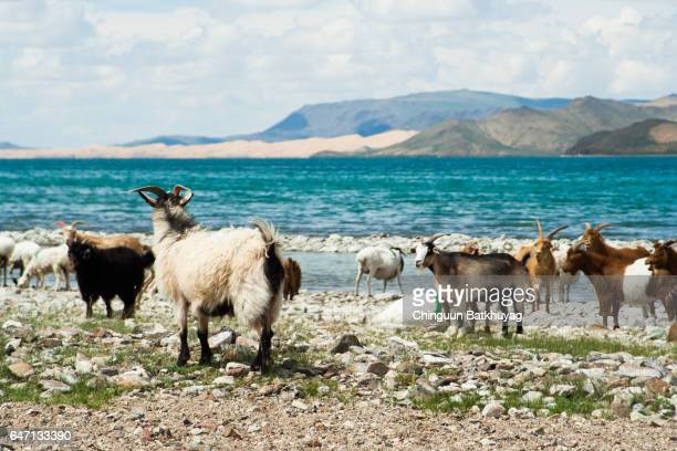 goats - cashmere stock pictures, royalty-free photos & images