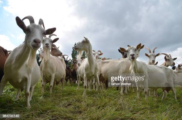 goats - goats stock pictures, royalty-free photos & images