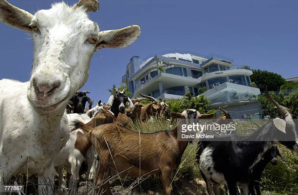 Goats protect ocean view homes from wildfire June 2000 in Laguna Beach CA by devouring coastal chaparral that can potentially fuel brush fire and...