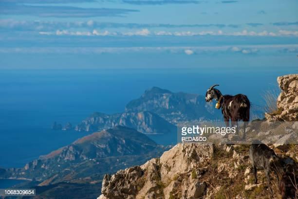 Goats Sorrento peninsula Monte Molare Faito mountain Lattari mountains Regional park Agerola Napoli Italy Europe