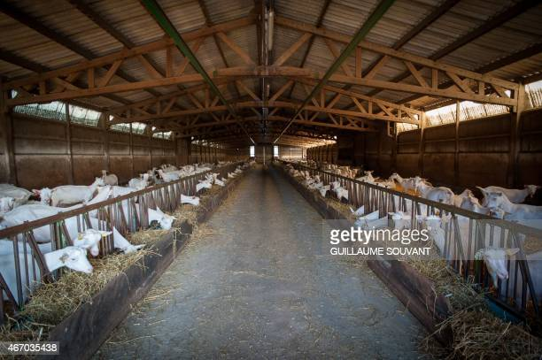 Goats stand in a barn of a dairy farm on March 182015 near Niort eastern France Thirty years after introducing quotas to combat the butter mountain...