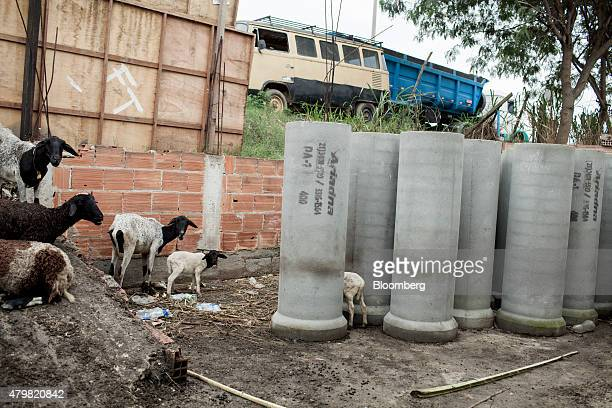 Goats stand near a road in the Dilma Rousseff favela of Rio de Janeiro Brazil on Monday July 6 2015 As the fastest inflation in more than a decade...