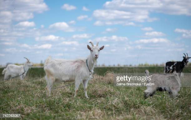 Goats Tied To Rope On Grassy Field