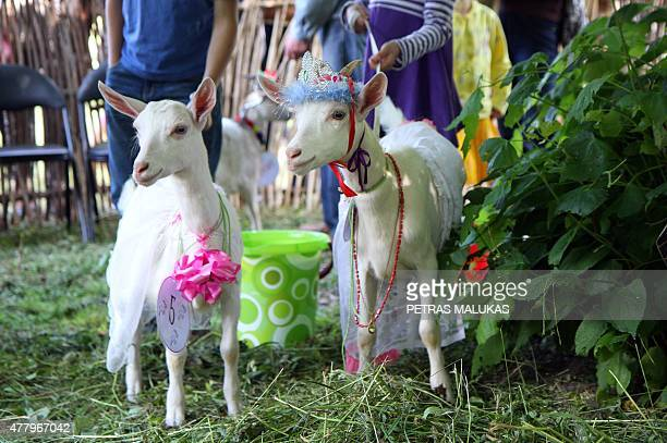 Goats wait for the show during a goat beauty contest in Ramygala Lithuania on July 20 2015 Ramygala was called the capital of Goats in the XVI...