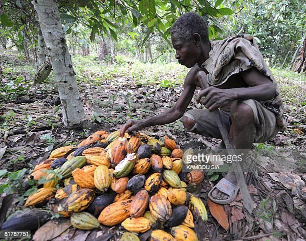 Godilehiri des planteurs de cacao soulages par la lutte anticorruption by David Youant A producer gathers cocoa dents in his plantation in the...