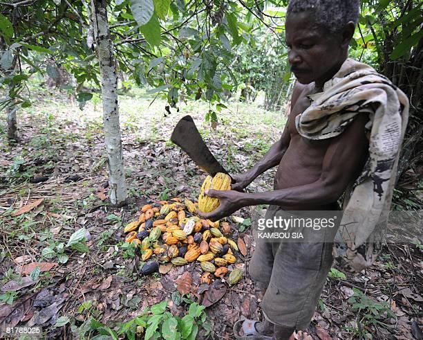 Godilehiri des planteurs de cacao soulages par la lutte anticorruption by David Youant A producer breaks a cocoa dent in his plantation in the...